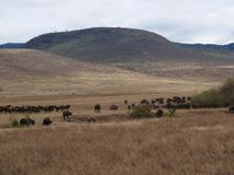 A herd of buffaloes on safari in Tarangiri-Ngorongor stock photos