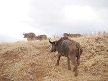 A herd of buffaloes on safari in Tarangiri-Ngorongor. O, safari, savannah, a herd of buffaloes in the wild, wildlife, nature around us, African nature, safari in Royalty Free Stock Photo