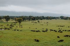 A herd of Buffaloes at Taita Hills wildlife Sanctuary, Kenya stock photo