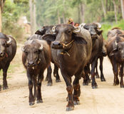 Herd of buffaloes walking in country side in Chitwan Park, Nepal Royalty Free Stock Image
