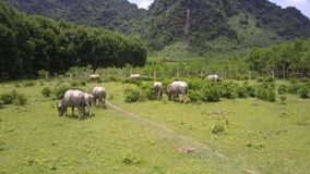 Herd of buffaloes walks along green meadow bird eye view stock video
