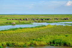 Herd of buffaloes in wetland Royalty Free Stock Image