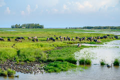 Herd of buffaloes in wetland Royalty Free Stock Photos