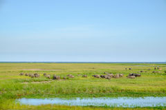 Herd of buffaloes in wetland Stock Image
