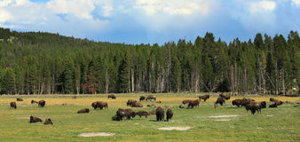 A herd of buffalos Royalty Free Stock Photos