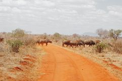 Herd of buffalos crossing a route in Kenya Royalty Free Stock Photo