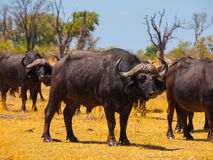 Herd of buffalos Royalty Free Stock Photo