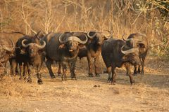 A herd of Buffalows in South Luangwa National Park. Zambia`s Wildlife: A herd of Buffalows in South Luangwa National Park Royalty Free Stock Photo