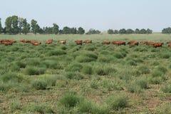 Herd of bulls Royalty Free Stock Photo
