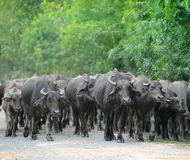 Herd of bulls Royalty Free Stock Photography