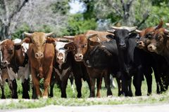 Herd of bulls. A line of young bulls blocks access to a country/rural road (shallow focus royalty free stock photo