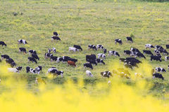 herd of bulls and cows grazing in the meadow far away Royalty Free Stock Image