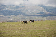 Herd of bulls. In a field of Colmenar Viejo, Madrid, Spain, with Guadarrama Mountains in the background Stock Photos