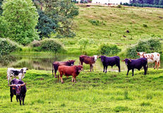 Herd of Bulls Royalty Free Stock Image
