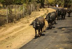 A herd of bulls walking down the road, Khajuraho, India Royalty Free Stock Images