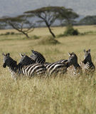 Herd of Burchell's Zebra. Royalty Free Stock Photography