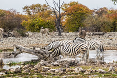 A herd of Burchell`s zebra drinking at waterhole Stock Photography