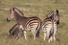 A herd of burchell zebra Royalty Free Stock Images