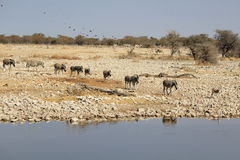 Herd of Burchell zebras in Etosha wildpark Stock Photo
