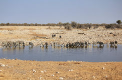 Herd of Burchell zebras in Etosha wildpark. Herd of Burchell zebras drinking water in Etosha wildpark, Okaukuejo waterhole. Namibia Royalty Free Stock Images