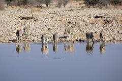 Herd of Burchell zebras in Etosha wildpark Royalty Free Stock Image