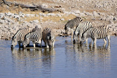 Herd of Burchell zebras in Etosha wildpark. Herd of Burchell zebras drinking water in Etosha wildpark, Okaukuejo waterhole. Namibia Royalty Free Stock Photo