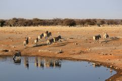 Herd of Burchell zebras in Etosha wildpark Stock Photos