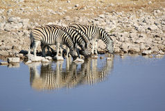 Herd of Burchell zebras in Namibia Etosha wildpark. Herd of Burchells zebras drinking water in Etosha wildpark, Okaukuejo waterhole. Namibia Stock Photos