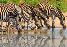 Herd of Burchells zebra & x28;Equus quagga& x29; drinking from a waterhole in Hwange national park, Zimbabwe. Dazzle of zebras drinking with a good water Royalty Free Stock Image