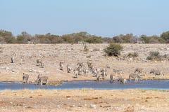 Herd of Burchells zebras, Equus quagga burchellii, at a waterhol. A herd of Burchells zebras, Equus quagga burchellii, at a waterhole in Northern Namibia Stock Images