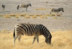 Herd of Burchells zebras in Etosha wildpark Royalty Free Stock Photography