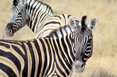 Herd of Burchells zebras in Etosha wildpark. Okaukuejo waterhole. Namibia Royalty Free Stock Photo