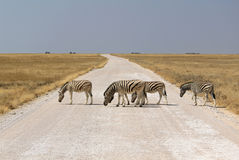 Herd of Burchells zebras in Etosha wildpark. Namibia Royalty Free Stock Photography