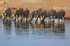 Herd of Burchells zebras in Etosha wildpark Stock Photo