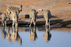 Herd of Burchells zebras in Etosha wildpark. Herd of Burchells zebras drinking water in Etosha wildpark, Okaukuejo waterhole. Namibia Stock Photo