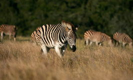 Herd of Burchelss Zebra Stock Images
