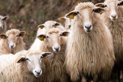 Herd of calm long wool hair sheep looking at camera Royalty Free Stock Photography