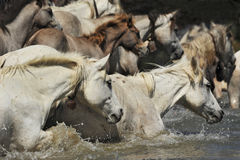 Herd of Camargue horses. And foal in the water stock photography