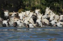 Herd of Camargue horses. And foal in the water stock image