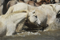 Herd of Camargue horses. And foal in the water stock photos