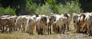 Herd of Camargue horses Royalty Free Stock Image