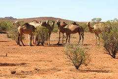 Herd of camels. Herd of curious wild camels on arid grounds with few bushes. Alice Springs, Northern Territory, Australia Stock Images