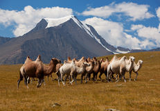 Herd camels against mountain. Altay mountains Stock Photo