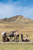 Herd of camels on the background of mountains Royalty Free Stock Photo