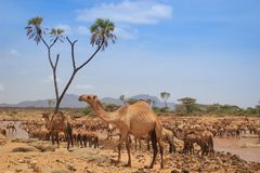 A herd of camels cools in the river on a hot summer day. Kenya, Ethiopia. Africa stock photography