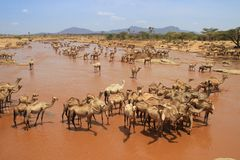 A herd of camels cools in the river on a hot summer day. Kenya, Ethiopia. royalty free stock photos