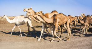 Herd of Camels in Sudan Royalty Free Stock Image