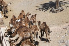 Herd of camels in the desert.  stock photography