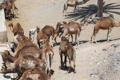 Herd of camels in the desert.  stock photo