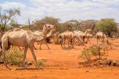Herd of Camels in Ethiopia Stock Photos